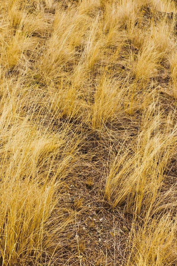 Złoci żółci bunchgrass obraz stock
