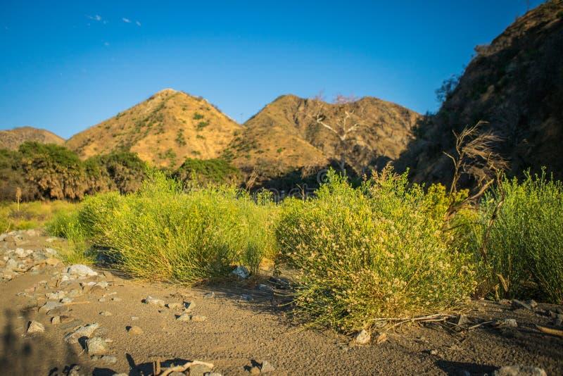 Złoci Żółci krzaki w Kalifornia zdjęcie stock
