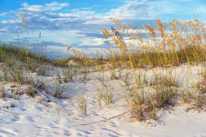 Złoci Denni owsy w Floryda piaska diun krajobrazie zdjęcia royalty free