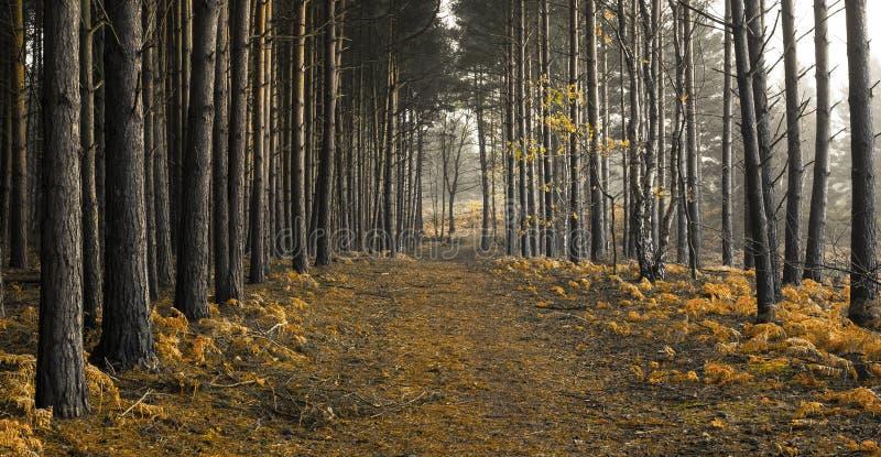 Złoci Drewna zdjęcie royalty free