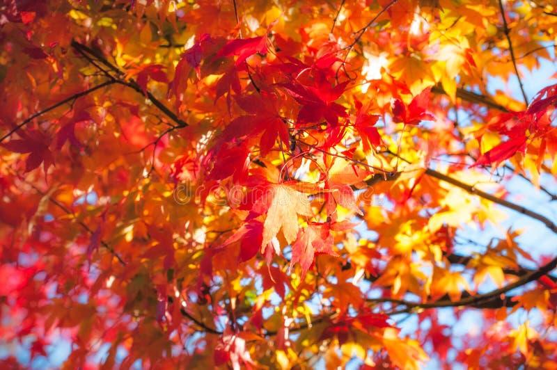 Złoci godzina liście klonowi w jesieni przy Fugikawaguchiko, Japonia obraz stock