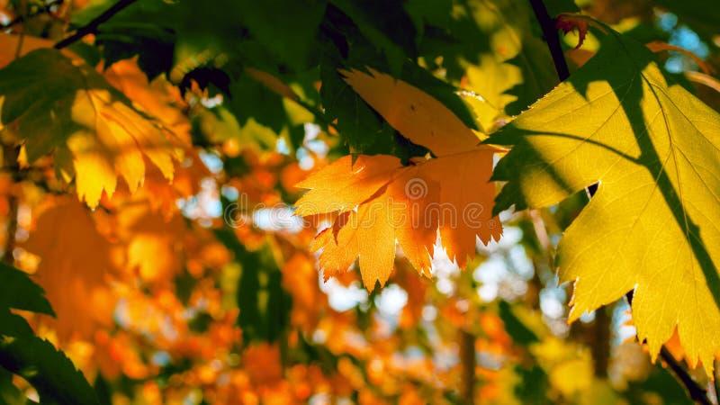 Złoci I Zieleni liście Zaświecający The Sun promieniami kolorowe tło Jesieni Złoty ulistnienie obrazy royalty free