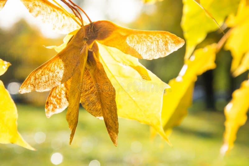 Złoci jesień liście klonowi w parku jako tło Selekcyjna ostrość Spadku wzór obrazy stock
