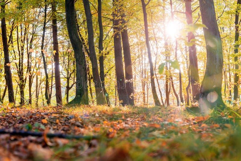 Złoci liście na gałąź, jesieni drewno z słońce promieniami, piękny krajobraz zdjęcie stock