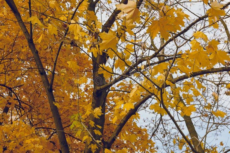 Złoci piękno jesieni liście obraz stock