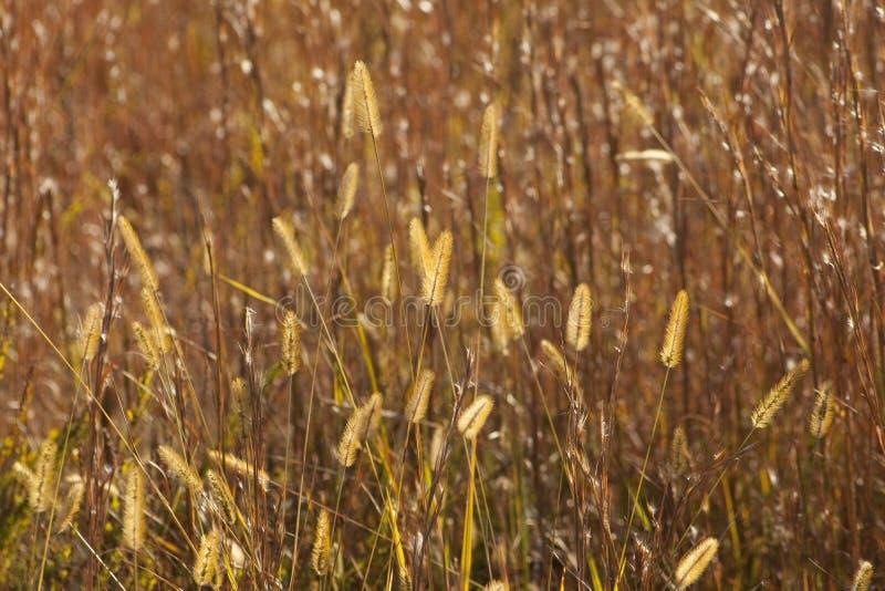 Złoci Preryjnej trawy pióropusze zdjęcia royalty free