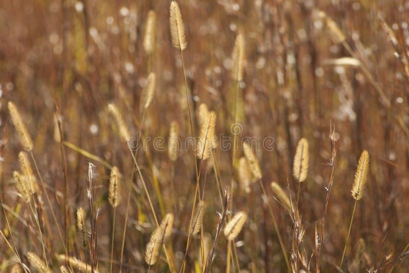 Złoci Preryjnej trawy pióropusze obrazy royalty free