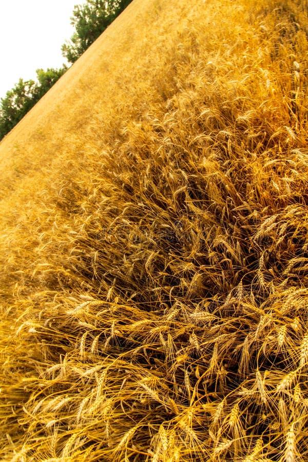 Złoci pszeniczni ucho w zmierzchu świetle zdjęcia royalty free