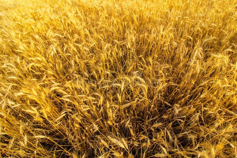 Złoci pszeniczni ucho w zmierzchu świetle zdjęcie stock