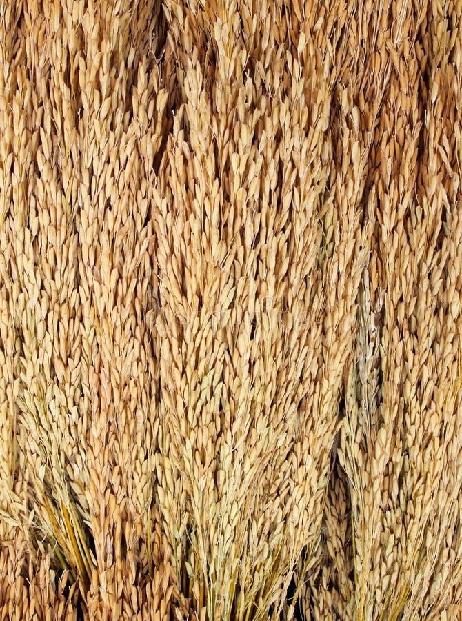 Złoci ryżowi kolce zdjęcia royalty free