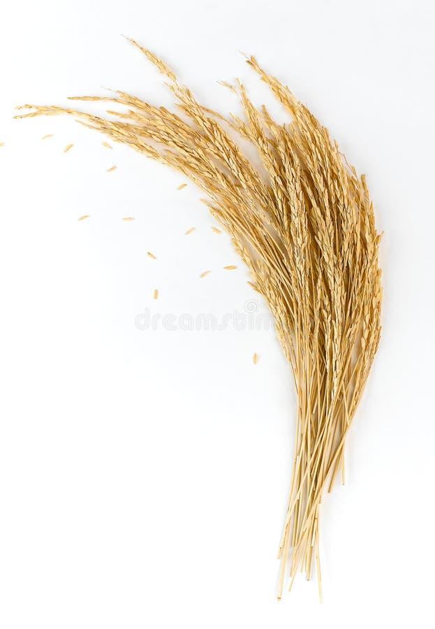 złoci ryżowi kolce zdjęcie stock