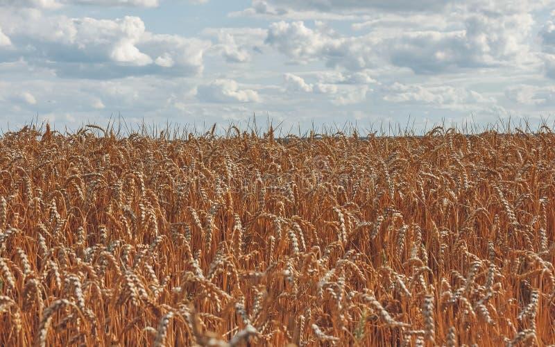 Złoci spikelets banatka na rolnym polu i niebieskie niebo z cl obraz stock