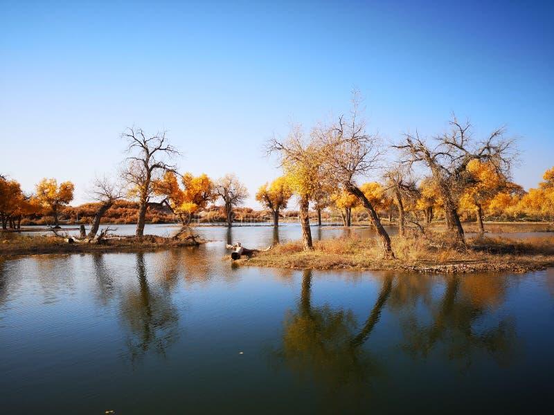 złoci topolowi drzewa zdjęcie royalty free