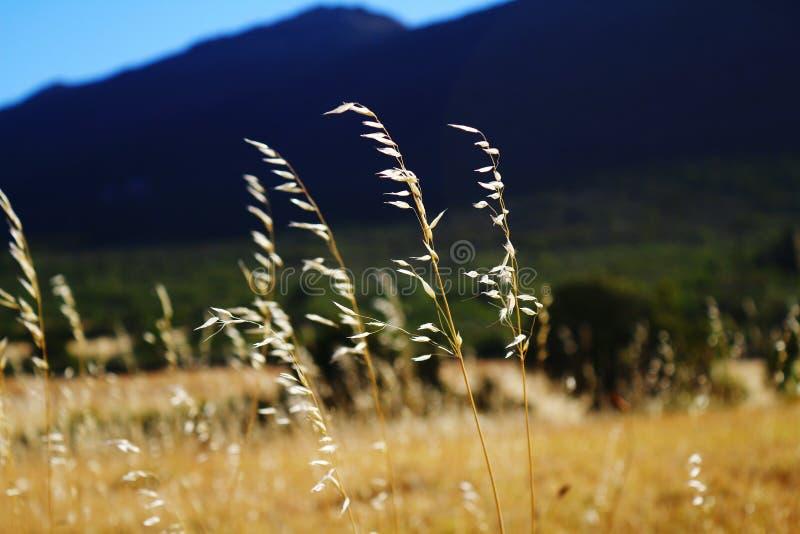 Złoci traw pola obrazy stock