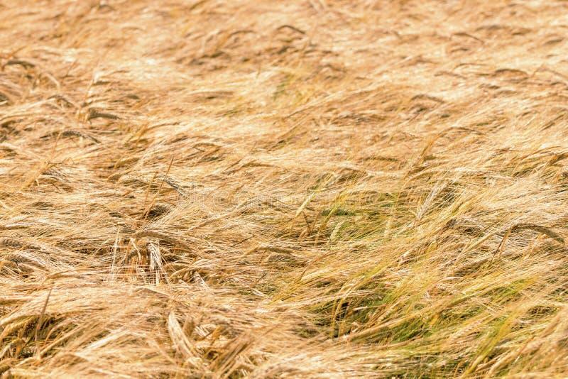 Złoci ucho banatka w lecie na polu tło grupujący odosobneni przedmioty nad pszenicznym biel fotografia stock