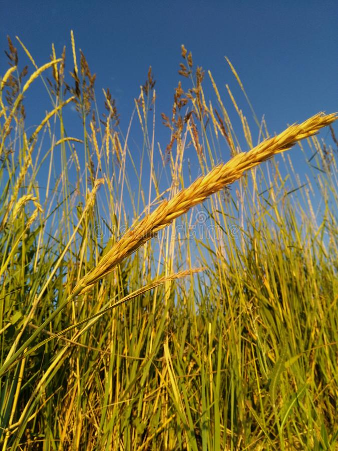 Złoci ucho w polu iluminującym słońcem przeciw niebieskiemu niebu fotografia royalty free