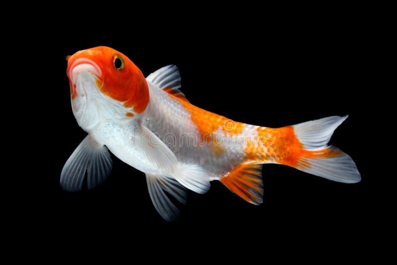 Złocista Koi ryba odizolowywająca na czarnym tle zdjęcie stock
