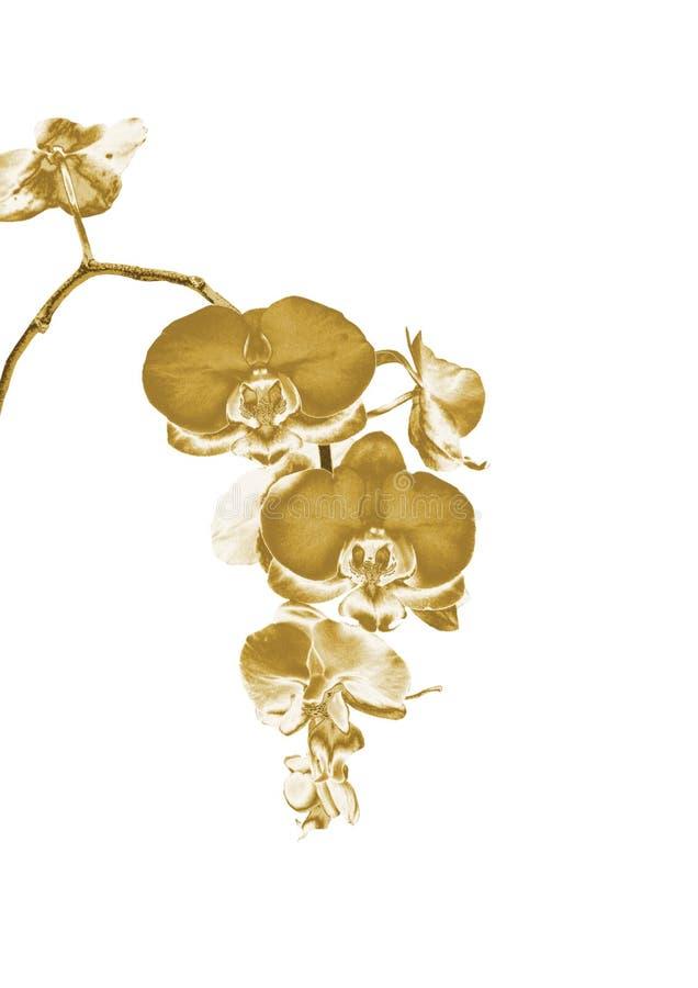 Złocista orchidea zdjęcie royalty free
