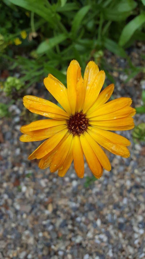 Złocisty żółty kwiat obraz royalty free