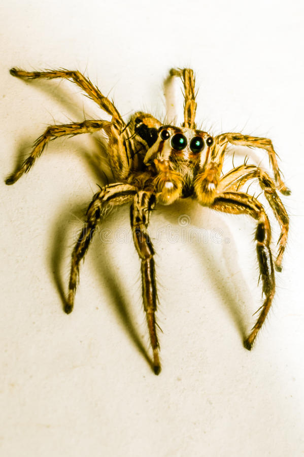 Złocisty pająk zdjęcie royalty free