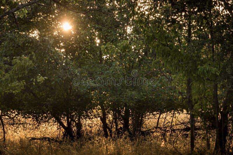 Złocisty ranku słońca połysk przez bonkrety drzewa opuszcza, sylwetka zdjęcia stock