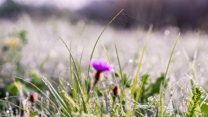 Złocisty zimy słońce na opóźnionej jesieni trawie, kwiacie z rosą i zdjęcie stock