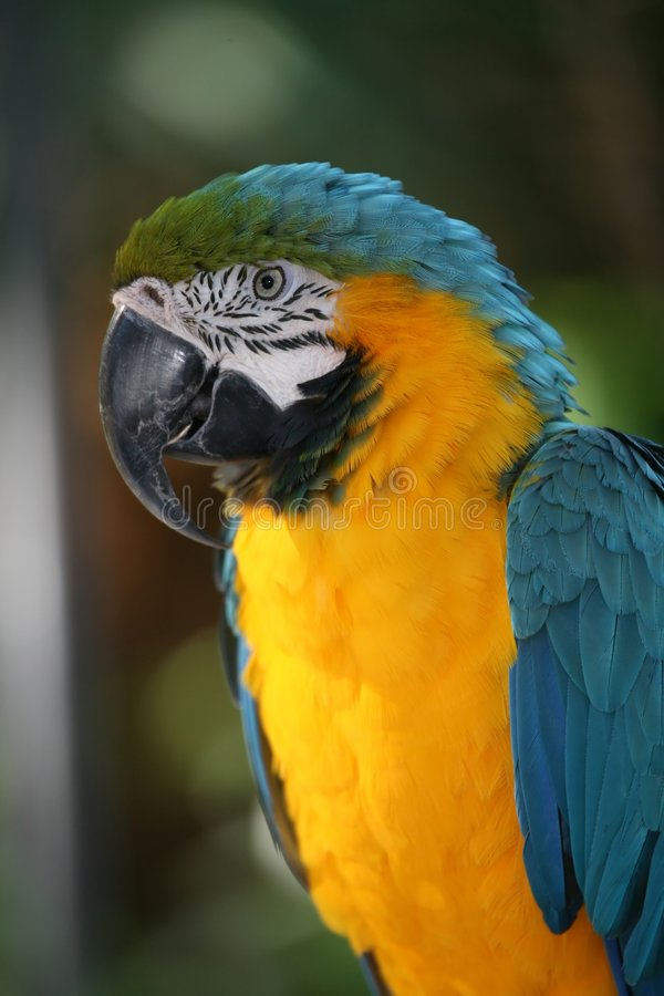 złota ara blue obraz stock