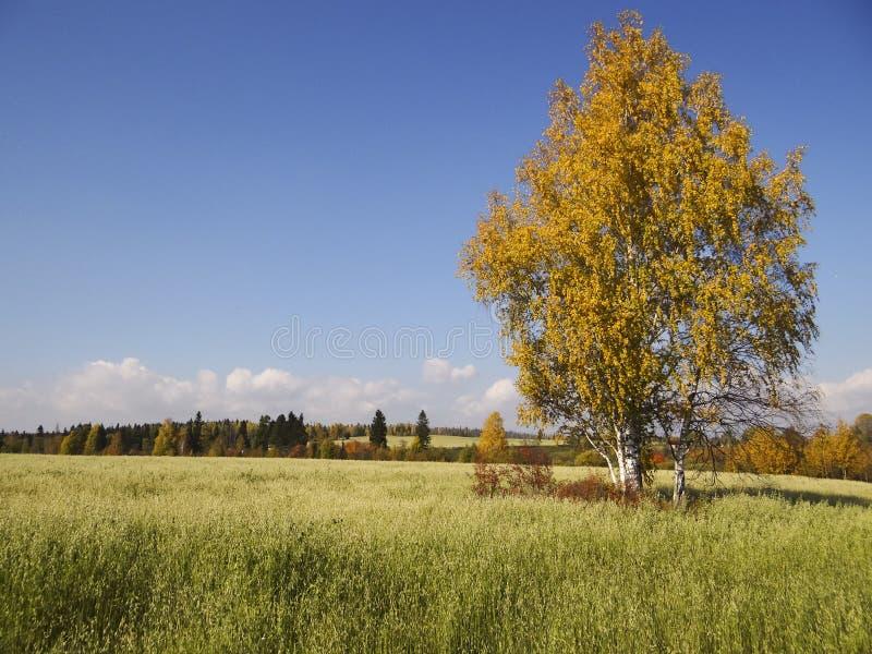 Złota brzoza w polu zdjęcia royalty free
