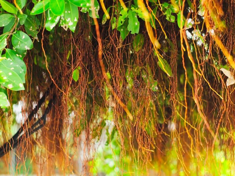 Złota figa, Płaczący drzewo, figi lub Ficus, fotografia royalty free