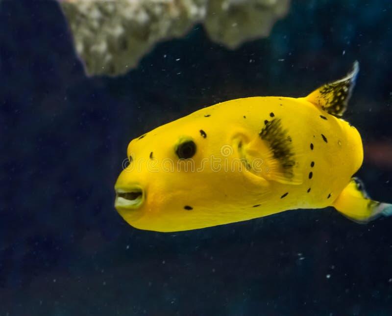 Złota guineafowl puffer ryba ono uśmiecha się z swój zębami wokoło w wodzie masywnym dopłynięciem i zdjęcie stock