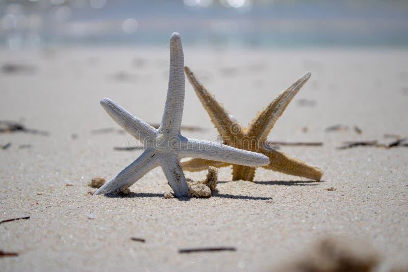 Złota i Biała rozgwiazda na złotej piaskowatej plaży obrazy royalty free
