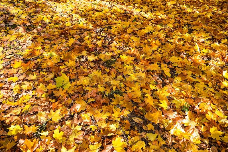 Złota jesień jesienią, zostaw upadek klonów Canada zdjęcia royalty free