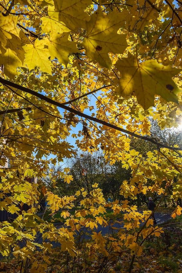 Złota jesień jesienią, zostaw upadek klonów Canada zdjęcie stock