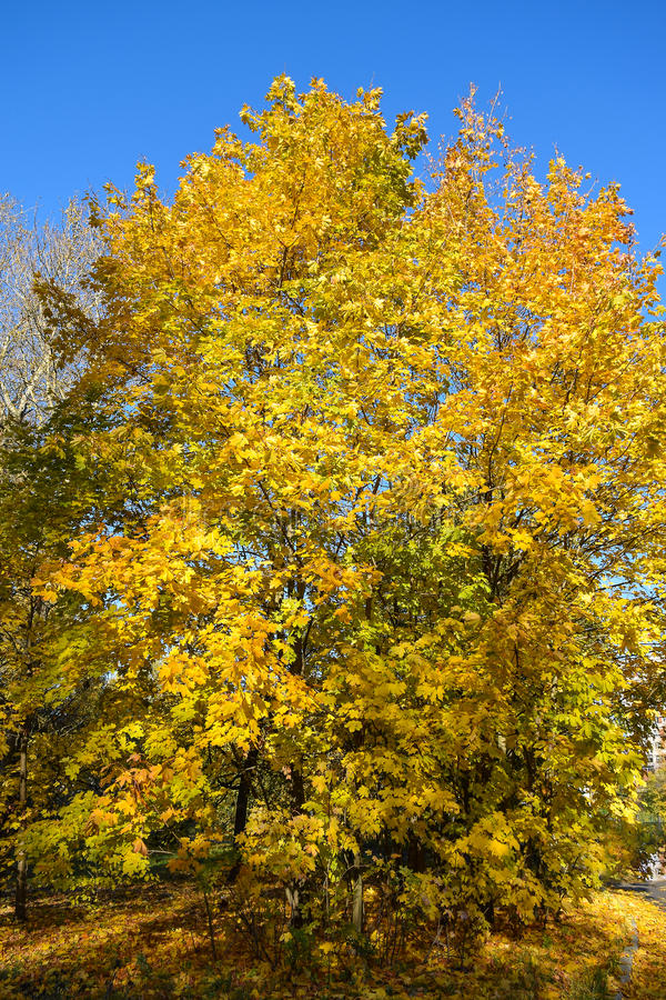 Złota jesień jesienią, zostaw upadek klonów Canada zdjęcia stock