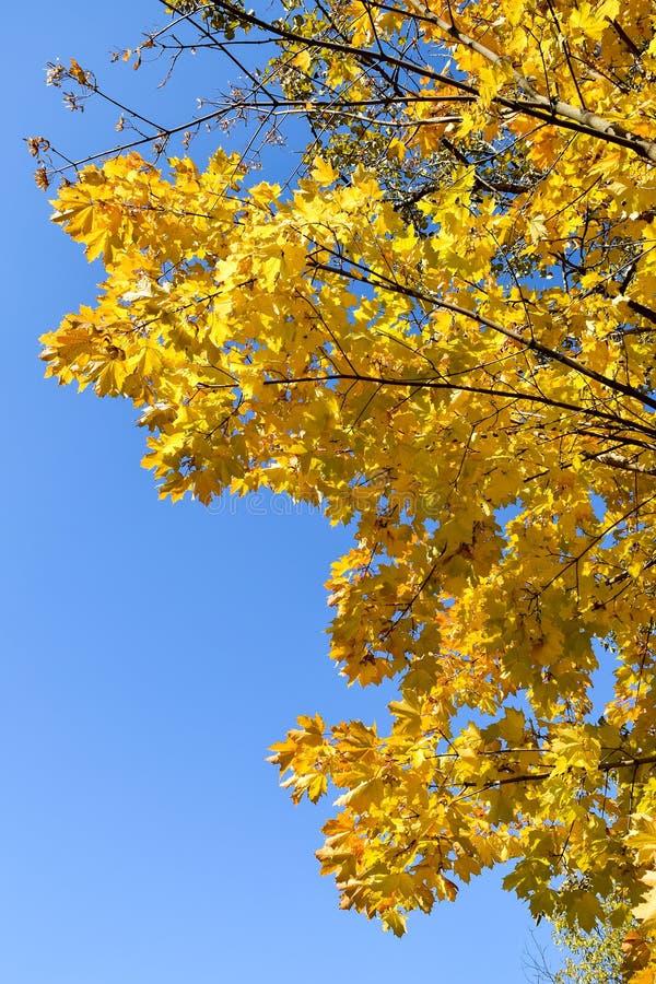 Złota jesień jesienią, zostaw upadek klonów Canada zdjęcie royalty free