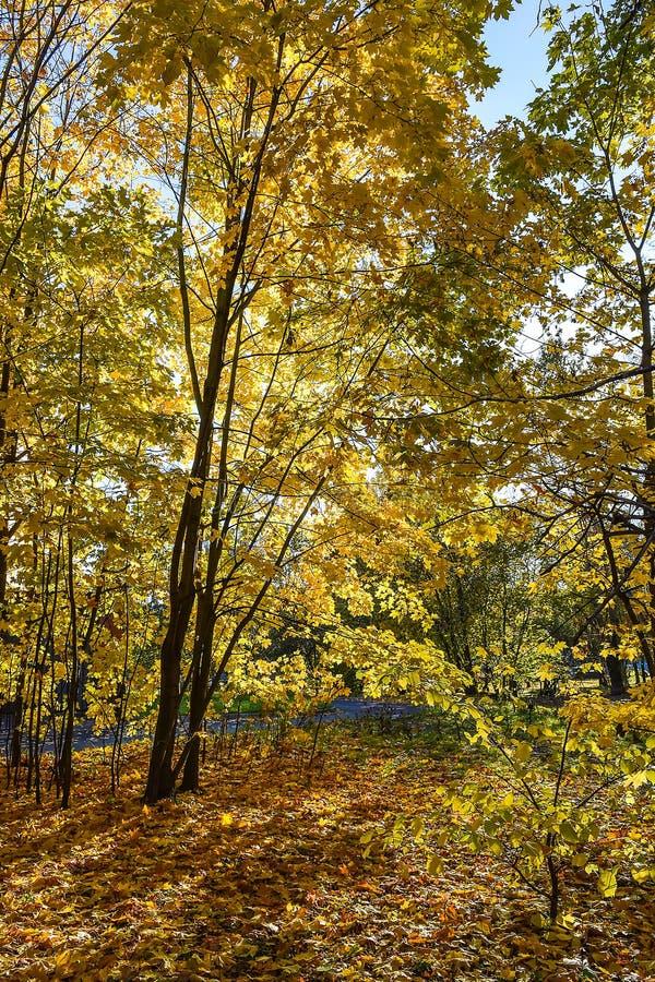 Złota jesień Jesieni Klonowy drzewo fotografia stock