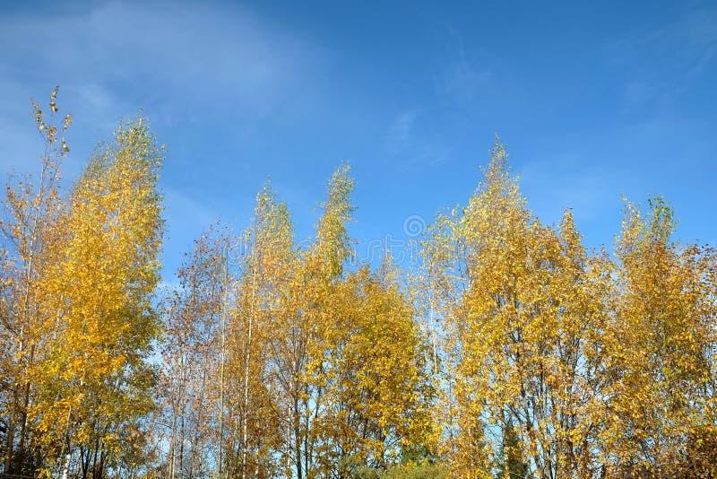 Złota jesień Piękny jesień krajobraz z kolorem żółtym opuszcza na wysokich brzozach nad jaskrawym niebieskim niebem z białymi chm obrazy royalty free