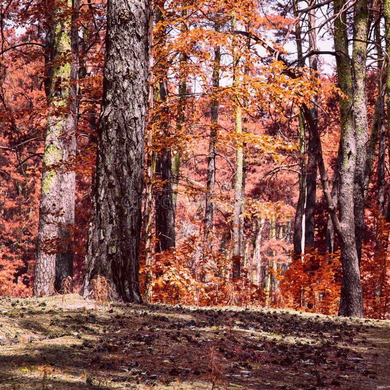 Złota jesień w mieszanym lesie obraz stock