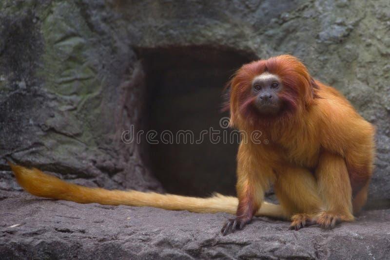 Złota lew długouszki małpa fotografia royalty free