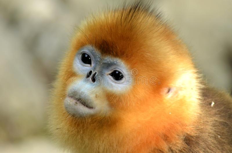 Złota małpa zdjęcie stock