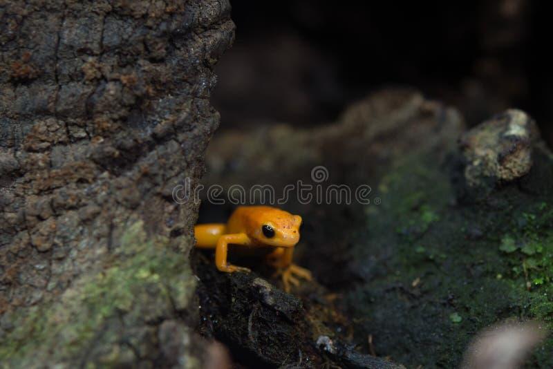 Złota mantella żaba Madagascar zdjęcia royalty free