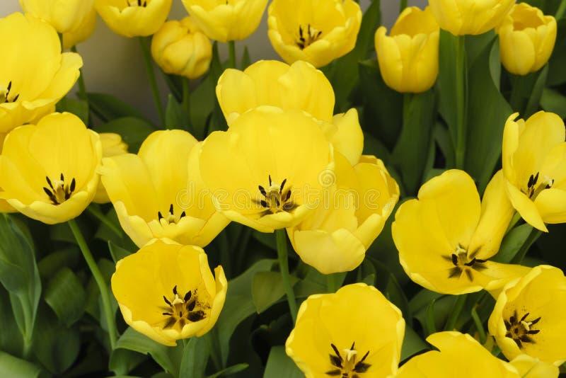 Złota parada, Gigantyczni tulipany (Darwin hybryd) fotografia royalty free