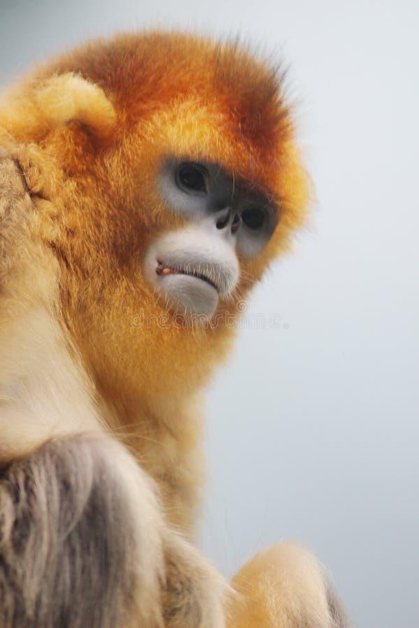 Złota Perkata ostrożnie wprowadzać małpa przy 2016 fotografia royalty free
