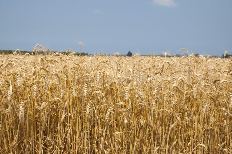 złota pola pszenicy zdjęcia royalty free