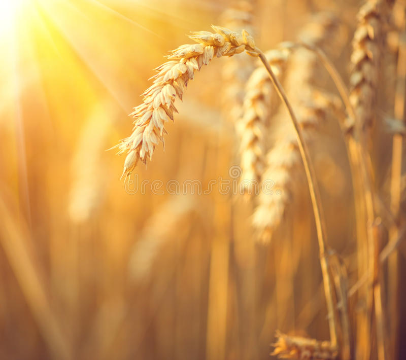 złota pola pszenicy Ucho pszeniczny zbliżenie obraz stock