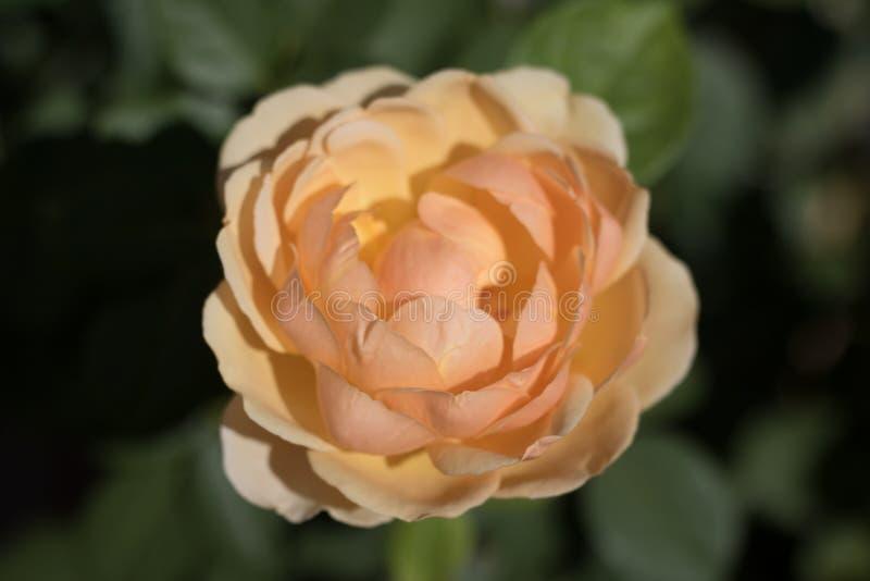 Złota róża w ogródzie obrazy royalty free