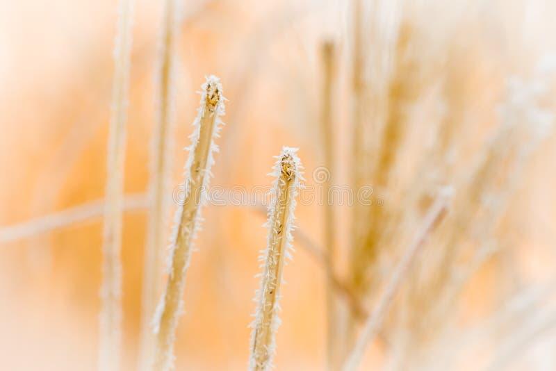 Złota roślina zakrywająca z malutkimi lodowymi kryształami obrazy royalty free