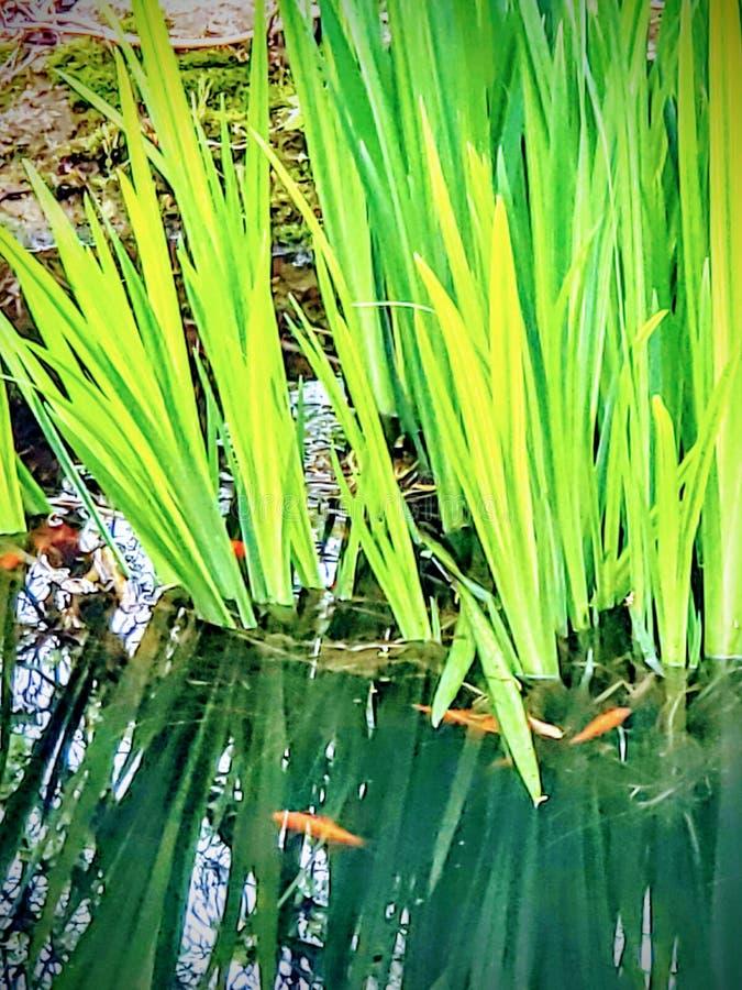 złota rybka fotografia royalty free