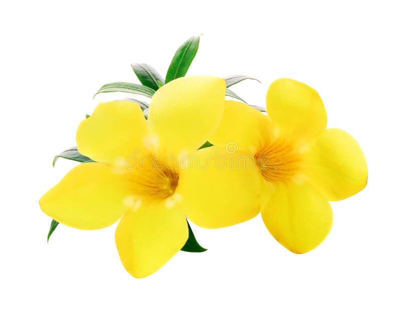 Złota trąbka, Allamanda, kwiat odizolowywający na bielu zdjęcia stock