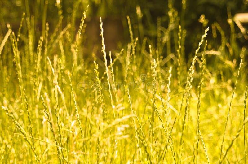 Złota trawa zdjęcie royalty free